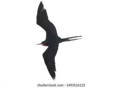 A magnificent frigate bird,Fregata magnificens, with a red keelsack flying at a white background