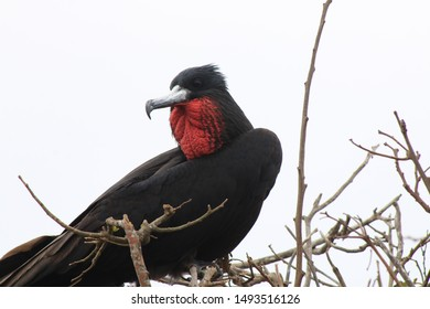 A magnificent frigate bird,Fregata magnificens, with a red keelsack sitting in a dead tree