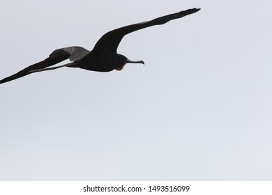 A magnificent frigate bird,Fregata magnificens, soaring though the sky