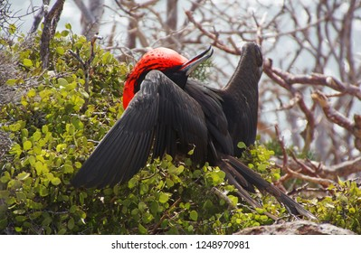 Magnificent Frigatebird with a big inflated gular sac calls on a female on the Galapagos Islands