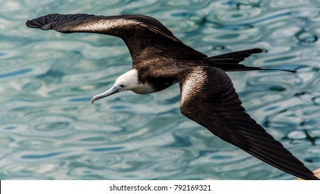 A magnificent frigatebird flies over a pier in Ponce,  Puerto Rico.