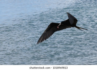 Magnificent Frigatebird in flight over the sea