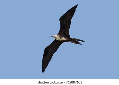 Magnificent Frigatebird flying in the sky