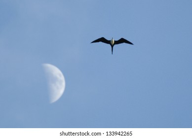 Magnificent Frigatebird (Fregata magnificens) flying past the moon, Costa Rica