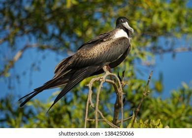 Magnificent Frigatebird - Fregata magnificens seabird of the frigatebird family Fregatidae, occurs over tropical and subtropical waters off America