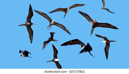 Magnificent Frigetebird, flock of birds