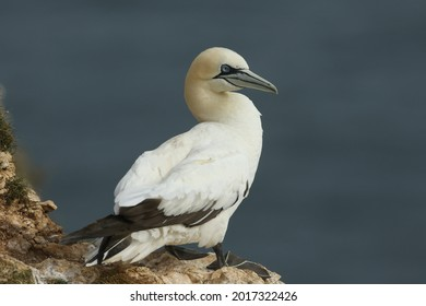 A magnificent Gannet, Morus bassanus, standing on the edge of a cliff in Yorkshire.