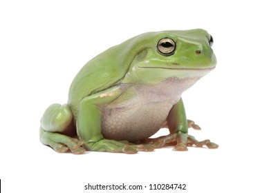 Magnificent green tree frog, Litoria splendida, on white background