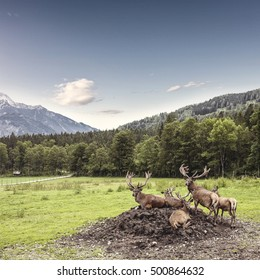 Magnificent herd of red deer with branched antlers grazes in grass at beautiful nature in the mountains