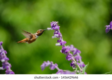 Magnificent hummingbird eating along the Salvia officinalis flowers, Los Angeles