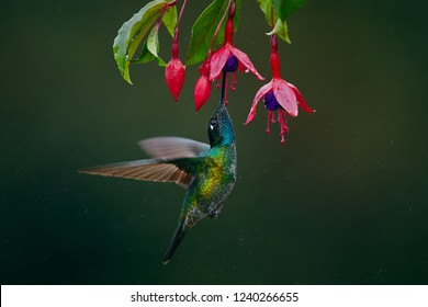A magnificent hummingbird, Eugenes fulgens, photographed in Costa Rica. Wildlife scene form rain forest. Hummingbird suck nectar from Fuchsia.