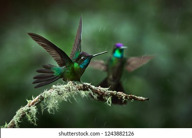 A magnificent hummingbird, Eugenes fulgens, photographed in Costa Rica. Wildlife scene form rain forest. Two hummingbirds sit on a branch