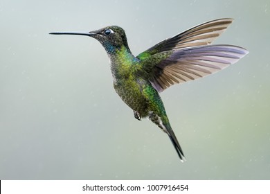 Magnificent hummingbird hovering in the rain in the cloud forest of Costa Rica