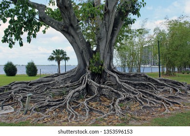 Magnificent and iconic Florida specimen of Mysore or Brown Woolly Fig and its large spreading canopy. The botanical name of this tropical tree is Ficus drupacea in the Moraceae family.