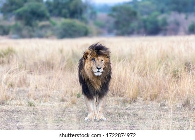 The magnificent lion called Scar or Scarface, who is a famous dominant lion of the Masai Mara, Kenya. Standing front on in the long grass, his injured right eye and scar are apparent.