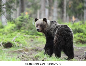Magnificent male brown bear in deep black spruce forest natural environment