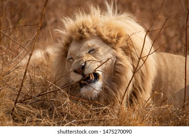 A magnificent male White Lion photographed in South Africa.