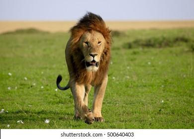 male lion walking images stock photos vectors shutterstock