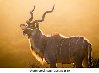 A magnificent mature kudu bull silhouetted against the golden light of a setting African sun.