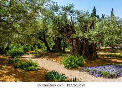 Magnificent millennial olives grow on red-orange sandstone. Gethsemane Garden on the Mount of Olives in ancient Jerusalem. The concept of historical, religious and ethnographic tourism