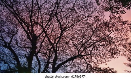 Magnificent natural color of contrastive red and blue sky over a giant tree when the sun nearly completely set