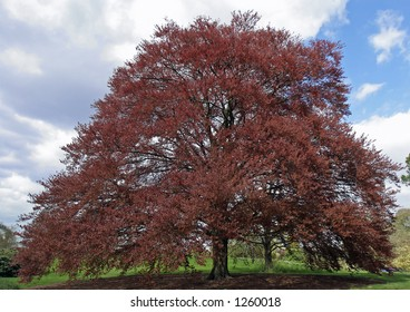 Magnificent Old Purple Cppper Beech Tree in British Parkland