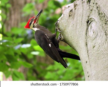 The Magnificent Pileated Woodpecker.  Clinging, calling.