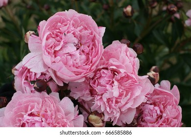 Magnificent pink tree-like peony