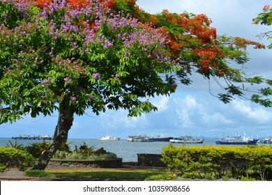 Magnificent Poinciana tree blossom, Suva harbour, Fiji Islands