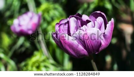magnificent-purple-double-late-tulip-450