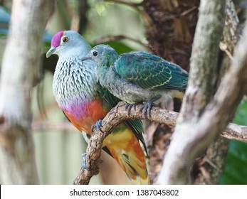 Magnificent Radiant Rose-Crowned Fruit- Dove with a Cherished Fledgling in a Nurturing Portrait.
