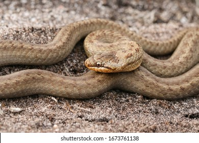 A magnificent rare Smooth Snake, Coronella austriaca, coiled up in heathland in the UK.