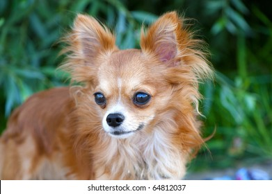 magnificent red chihuahua dog portrait  on a natural greens blurred background