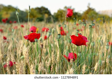 Magnificent rye field  with scarlet red poppies.  Scented flowers at sunset. Turkey.