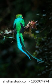 Magnificent sacred mistic green and red bird. Resplendent Quetzal in jungle habitat. Widlife scene from Mexico. Quetzal, Pharomachrus mocinno, from  nature Costa Rica with green forest.