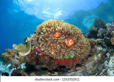 magnificent Sea Anemone with Clown fish against the rippled water surface with sky and sun rays scuba diving in Raja Ampat, Indonesia