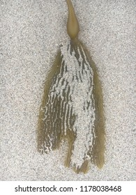 Magnificent seaweed sand juxtaposition early morning beach walk