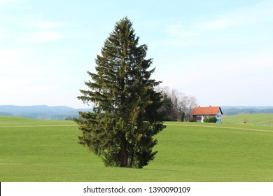 Magnificent single fir tree on a meadow in the hilly Alpine Upland, farm house in the background, Allgäu, Bavaria