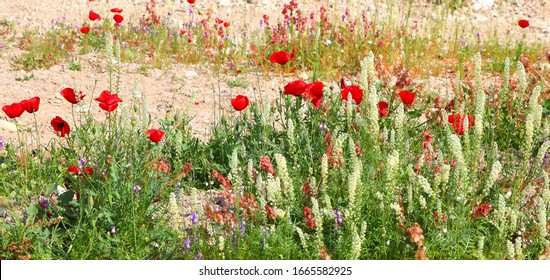 Magnificent spring wild flowering in a stony desert