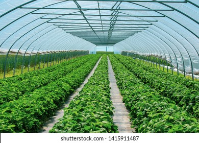 magnificent strawberry plants in the strawberry tunnel from protected cultivation. Location: Germany, North Rhine-Westphalia, Heiden