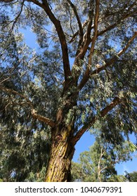 Magnificent tall eucalyptus tree on a sunny day