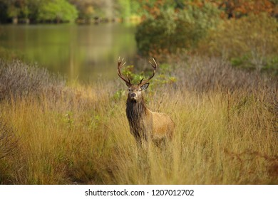 Magnificent ten point wild red deer stag in the Scottish Highlands during Autumn.