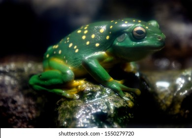 Magnificent Tree Frog also known as the Splendid Tree Frog