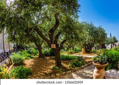 Magnificent well-kept garden - a symbol of the Christian faith. Millennial olives grow under the hot autumn sun. Gethsemane Garden on the Mount of Olives in Jerusalem.