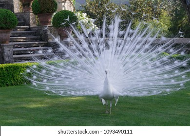 Magnificent White Peacock Opening its Beautiful Tail to Attract Females in the Romantic Baroque Garden of Isola Bella on Lake Maggiore in Italy