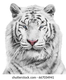 Magnificent white tiger portrait