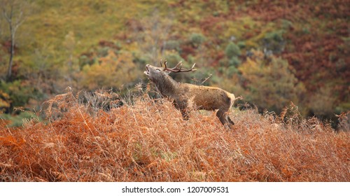 Magnificent Wild Red Deer Stag roaring during the rutting season in October in the Scottish Highlands.
