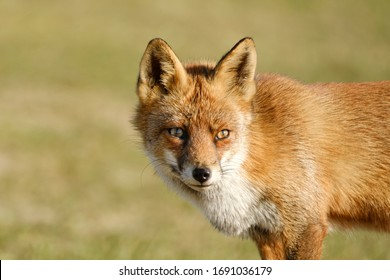 A magnificent wild Red Fox, the fox looks straight into the camera, headshot.