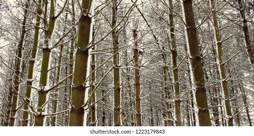 Magnificent winter scene in a pine forest at Rock Cut State Park in Illinois