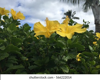 Hibiscus Tree Images Stock Photos Vectors Shutterstock